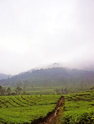 A quick and refreshing tea walk in Bandung's highland