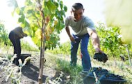 Hand pickers harvest grapes at Lacerta winery in Dealu Mare, Bucharest. On the gentle slopes of the Big Hill (Dealu Mare) region, winemakers are striving to make Romania become the New World of wine in Europe