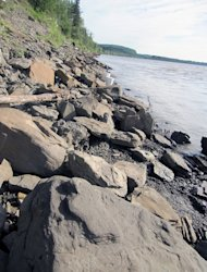 A dinosaur track exposed along the rocky shoreline of Yukon River. Finding the fossils involved walking along the river's banks and turning over rocks.