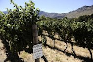 A vineyard is pictured in Franschoek on March 19, 2011. South African firefighters battled on Monday to contain a runaway fire in the country's picturesque wine lands, one of several blazes raging in the Western Cape in which one person has died.