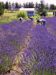 Whidbey Lavender Field on Whidbey Island, Washington. Photo by Todd Coleman.