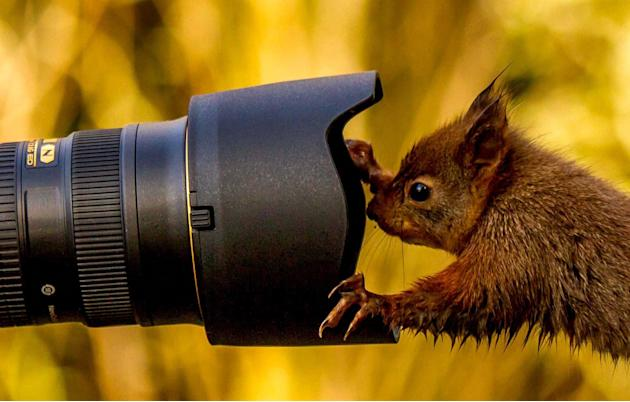 A cheeky squirrel shows he's nuts about photography and attempts a self-portrait. Keen wildlife photographer Dennis Greenwood, 50, captured the lovely shot while his friends were setting up their