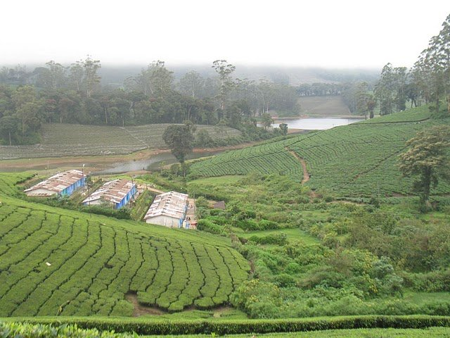 Tea estate in Meghamalai