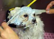 Hops, a Maltise, gets a blueberry facial at Downtown Doghouse pet salon and boutique in New York. People and their pets often end up resembling each other, but image-obsessed Americans are taking that age-old relationship a step further, treating their four-legged friends to everything from spa facials to testicle implants