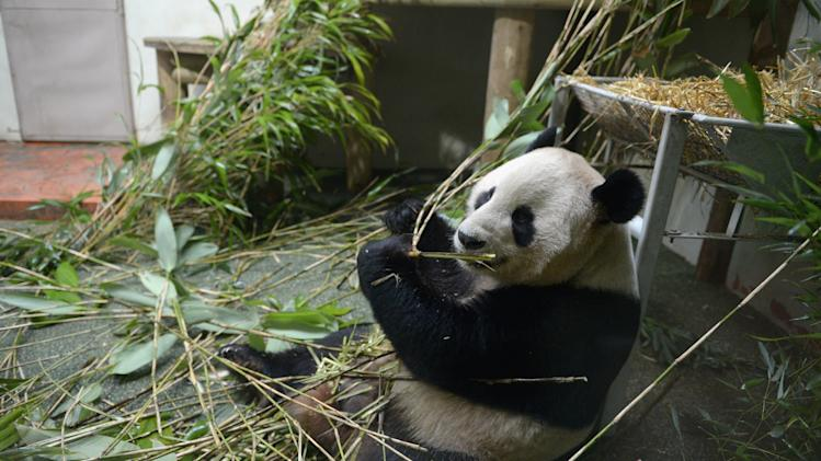 Giant Pandas Tian Tian And Yang Guang Ahead Of The 2013 Breeding Season
