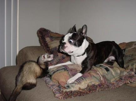 Dog and Ferret