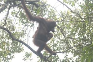 Secret Population of Orangutans Found
