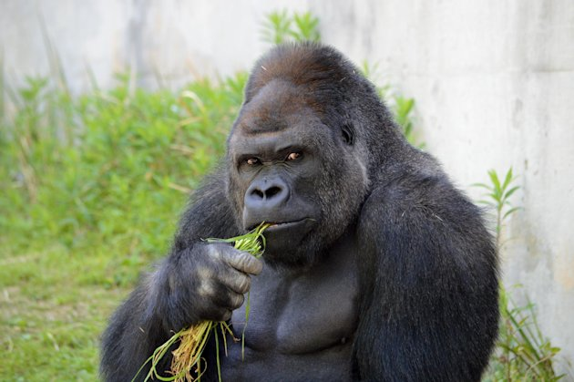 Giant male gorilla Shaban at the Higashiyama Zoo in Nagoya, Japan. (AFP)