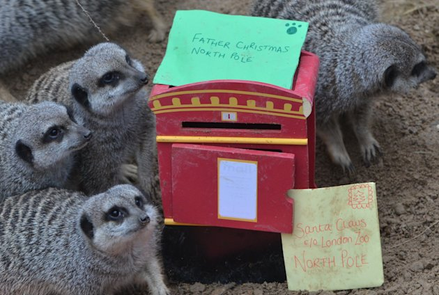 THe adorable meerkats forage around the festive treats (ZSL London Zoo)