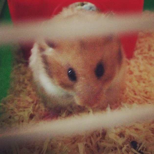 Eleanor the hamster