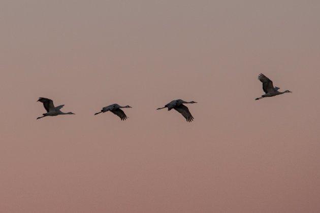 Grullas canadienses volando sobre la reserva de Sandhill Crane, cerca de Thornton, California, durante su migración anual. (CALIFORNIA-DROUGHT/BIRDS REUTERS/Max Whittaker)