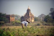 A woman gathers dry seeds from the fields among the pagodas in Myanmar's northern ancient town of Bagan in February 2012. The United States eased financial restrictions to allow US-based non-governmental groups to operate in Myanmar, putting into place an incentive to encourage democratic reforms