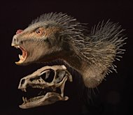 This is a Heterodontosaurus flesh model and skull. Skin, scales and quills are added to a cast of the skull of Heterodontosaurus, the best known heterodontosaurid from South Africa.
