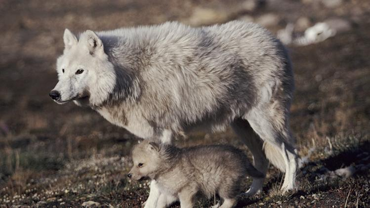 Grey wolf (arctic form) with pup near den, Ellesmere Island, Canada. Young pups born into the High Arctic packs have a precarious life ahead of them if they are to grow to a size big enough to survive the following winter. Frozen Planet