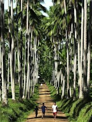 This file photo taken on June 13, 2001 shows villagers walking along a path on a coconut plantation in the town of Lantawan, on the Philippine island of Basilan. In his most recent state of the nation address, President Benigno Aquino hailed coconut water as one of the country's most promising new export opportunities