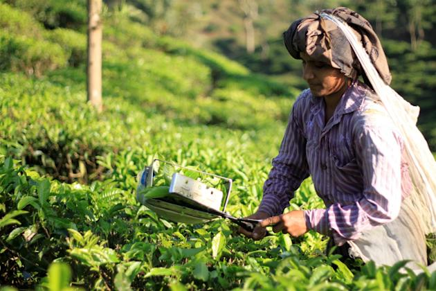 Tea being harvested