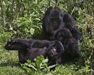 The Agashya family of mountain Gorillas frolick in dense undergrowth at the Virunga National park in Rwanda. Mountain gorillas are highly endangered, but the 27 members of the Agashya family are well protected, largely due to progress made in curbing poaching, Rwandan authorities say