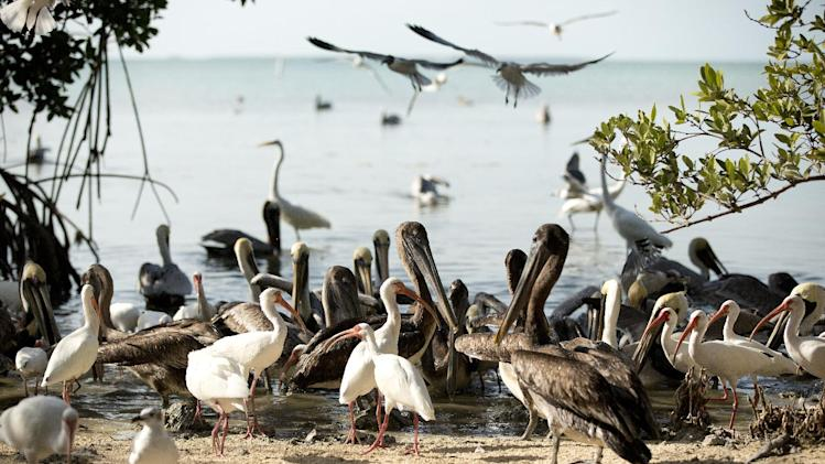 In this Feb. 12, 2013 photo, after touring the birds in cages at the Florida Keys Wild Bird Center near Key Largo, Fla., visitors can the birds roaming free on the beach.  The bird sanctuary accepts donations but has free admission.  (AP Photo/J Pat Carter)