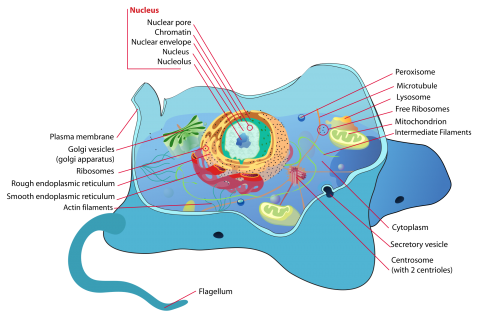 Animal_cell_structure_en