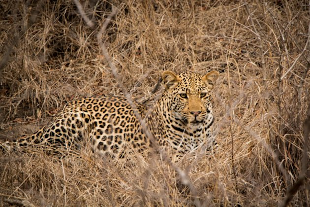 Thornybush Leopard