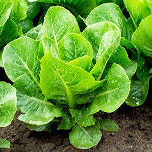 Loose-leaf lettuce for just-picked salads