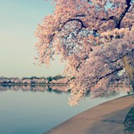 The cherry trees around the National Mall of Washington, D.C., in peak bloom.