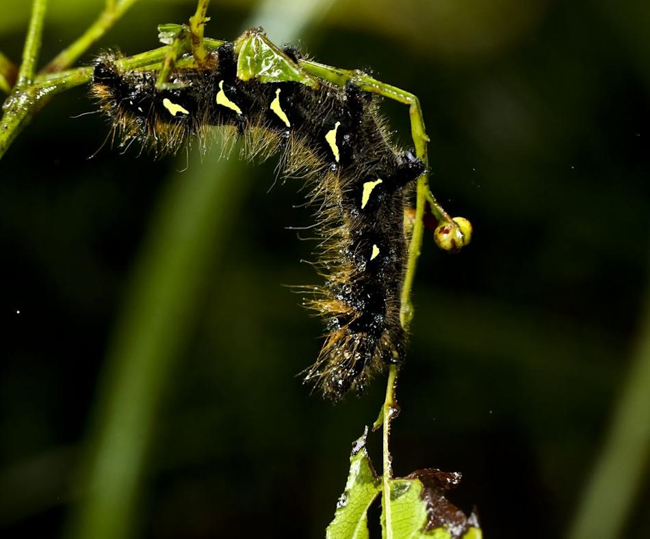 Moth caterpillar, Agumbe