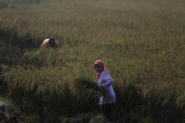 A worker holds a bundle of paddy during harvest at Sukatani village, on the outskirts of Jakarta