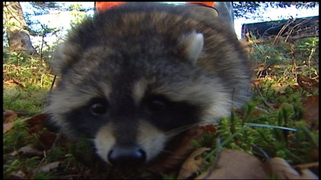 Rabies spreading in New Brunswick raccoons