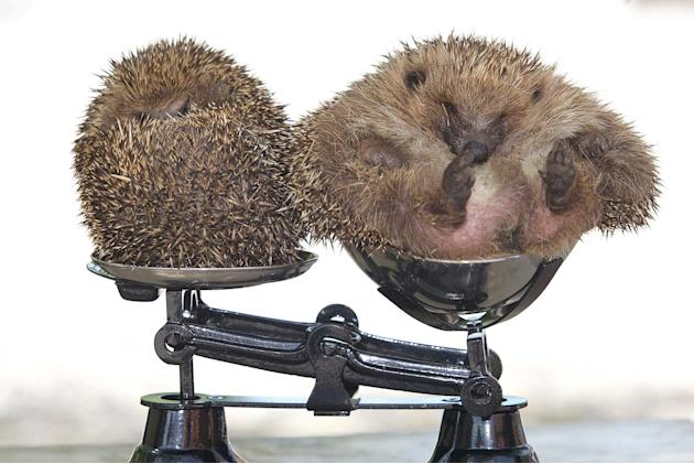 Roly Poly, the overweight hedgehog (right) got so fat he could not roll into a ball. He is pictured here with a normal sized hedgehog (left),  He has been put on a diet after ballooning to twice his n