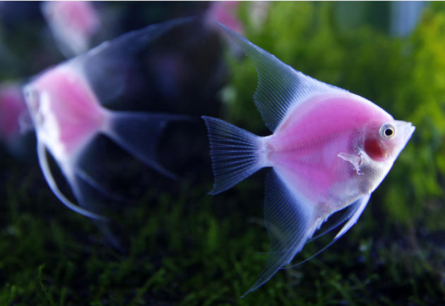 Genetically engineered angelfish (Pterophyllum) glow in a tank during a news conference before the 2012 Taiwan International Aquarium Expo in Taipei
