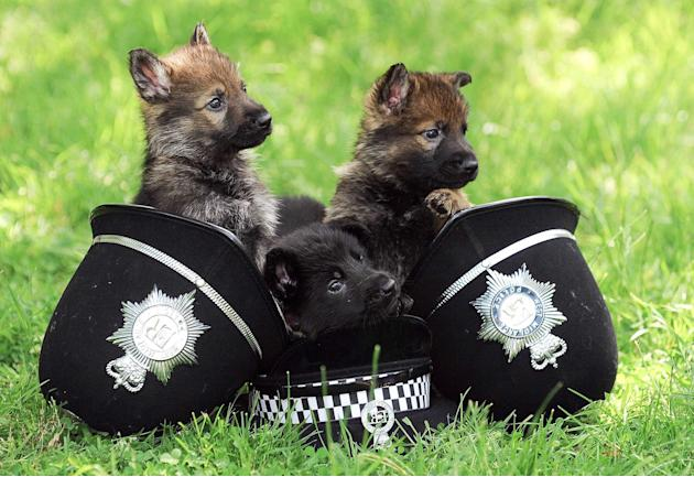 "The seven-week-old German Shepherds are being groomed as the next generation of canine crime-fighters for West Midlands Police. The cute and fluffy dogs are being taught to be ""obsessed with toys"