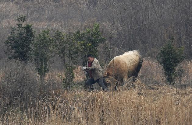 A cow, which escaped from a truck, attacks a farmer trying to catch it in Liangdun