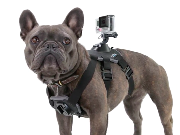 A stylish French Bulldog models the new harness (Business Insider)
