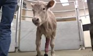 Hero The Calf Gets A New Set Of Legs