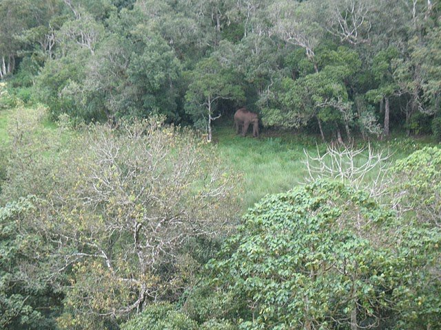 An elephant in the forests of Meghamalai