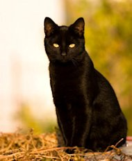 Photo by: Strange HistorySacrificing CatsDon't worry there is no record of black cat mutilation on Halloween.
