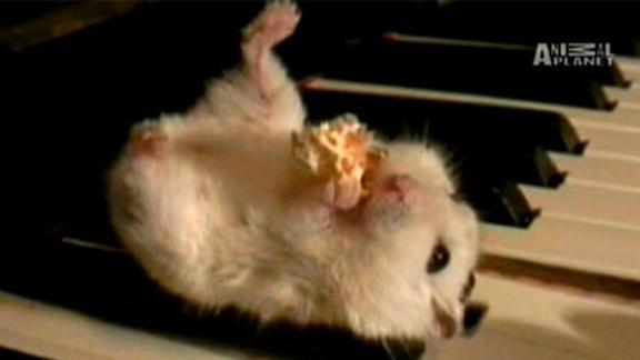 Mozart the Musical Hamster