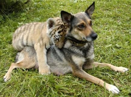 Dog and Tiger