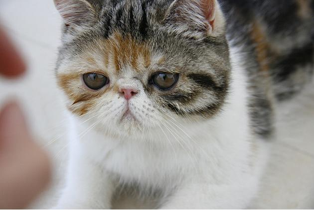 5. Denmark's Team: The Exotic Shorthair