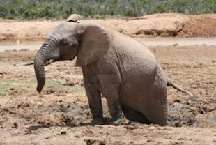 If You Don't Embrace Mobile Your Business Will Remain Forever Stuck image 4081740 african elephant with hind legs stuck in the mud