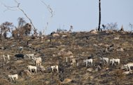 Cattle walk through a burnt area of the Amazon rainforest in northern Brazil, on November 28, 2009. A group representing Brazilian supermarkets have agreed to keep beef from cattle raised in the Amazon rainforest off the shelves, officials said