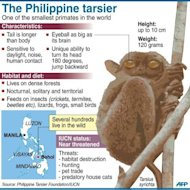 Fact file on the Philippine tarsier, one of the smallest primates in the world