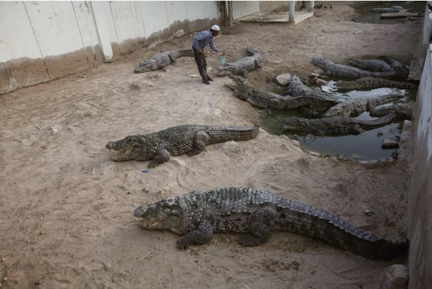 A man feeds pieces of meat offered by devotees to crocodiles at the Manghopir Sufi saint shrine on the outskirts of Karachi
