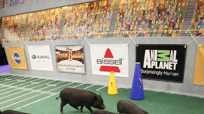"The piglets cheer on the pups as seen on ""Puppy Bowl VIII."""