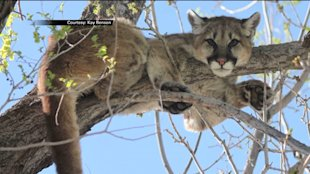 A cougar, also known as a mountain lion, is spotted in a tree in Parowan, Utah.