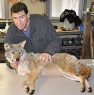 Stan Gehrt, a wildlife ecologist at Ohio State University, inspects a coyote captured in the greater Chicago area as part of a long-running study on this increasingly common urban resident.