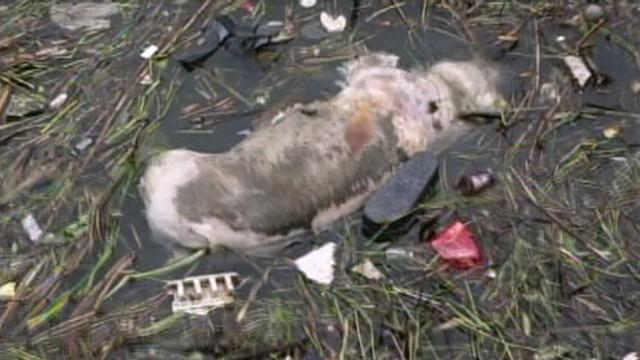 6,000 Dead Pigs in China River Prompts Fears