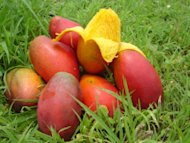 Mango – the King of Fruits