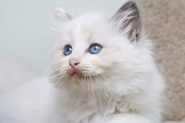 Ragdoll — Floppy and Friendly